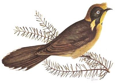 Helmeted Honeyeater, State emblem of Victoria