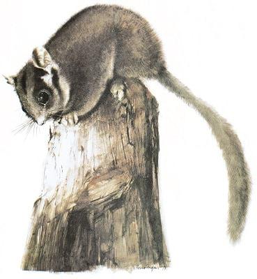 Leadbeater's Possum, State emblem of Victoria